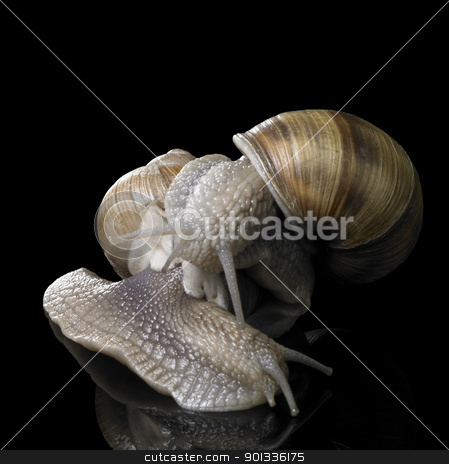 two Grapevine snails on each other stock photo, studio photography of two Grapevine snails on each other in black reflective back by prill