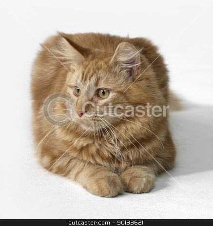 red Maine Coon cat stock photo, Maine Coon kitten in light back by prill