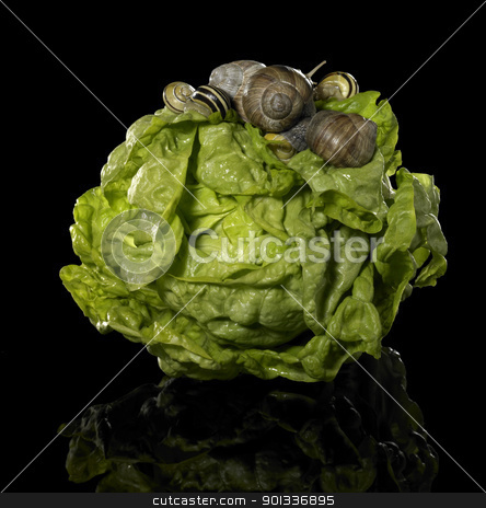 fresh lettuce and snails stock photo, studio photography of a head of lettuce and some snails in black reflective back by prill