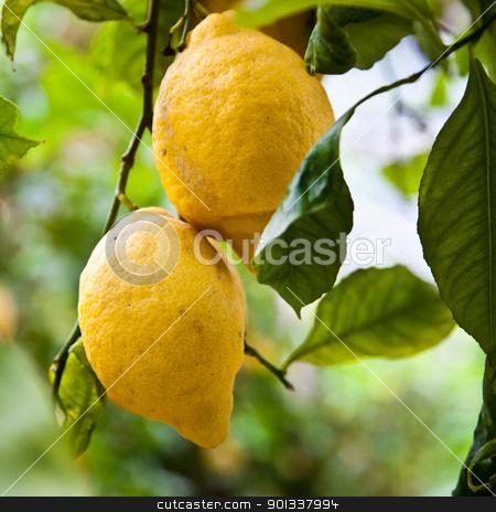 Lemon stock photo, Lemon on the tree in Costiera Amalfitana, tipical Italian location for this fruit by Perseomedusa