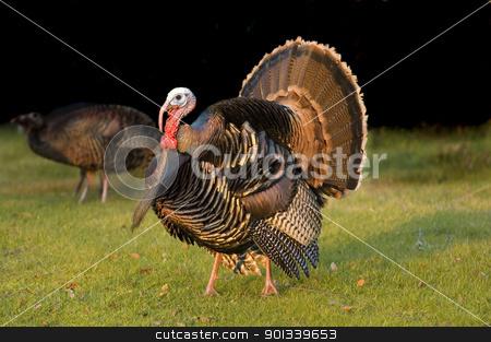 Turkey tom strutting stock photo, Turkey Tom strutting his stuff by Jeffrey Banke
