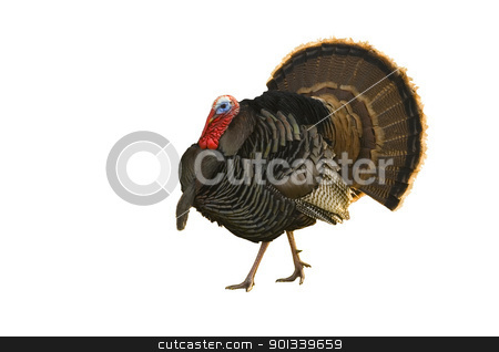 Turkey tom strutting isolated on white stock photo, Turkey Tom strutting his stuff  isolated on white by Jeffrey Banke