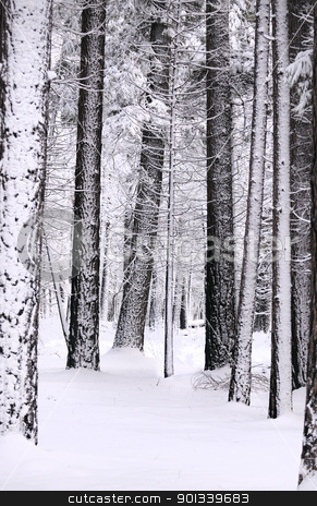 snow laden trees and the ground blanketed in snow in Yosemite fo stock photo, Winter scene in Yosemite National forest with snow laden trees and the ground blanketed in snow by Jeffrey Banke