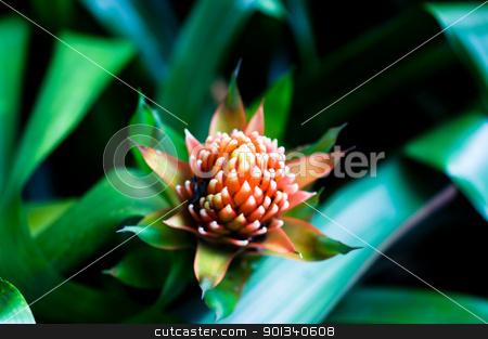 Aechmea fasciata bromeliad flower  stock photo, Beautiful Bromeliads flower isolated by Ulrich Schade
