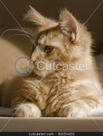 Maine Coon kitten stock photo, red tabby Maine Coon kitten resting on a couch by prill