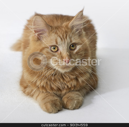 Maine Coon kitten portrait stock photo, sitting red Maine Coon Cat in light back by prill