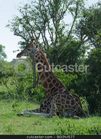 Giraffe resting in the shade stock photo, a resting Rothschild Giraffe in Uganda (Africa) surrounded by green vegetation by prill