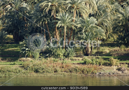 waterside Nile vegetation stock photo, sunny waterside scenery at River Nile in Egypt (Africa) with lots of palm trees at evening time by prill
