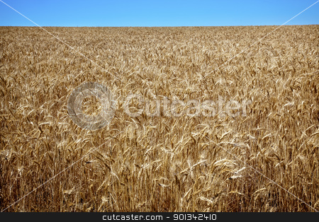 Ripe Wheat Field Blue Skies Palouse Washington State stock photo, Ripe Wheat Field Ready for Harvest Blue Skies Palouse Washington State Pacific Northwest by William Perry
