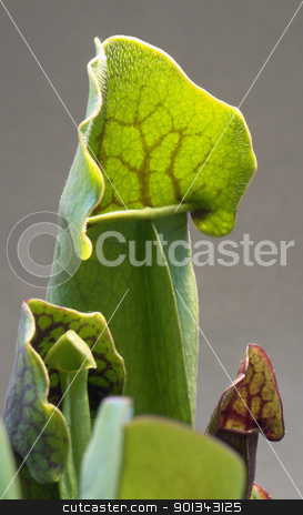 carnivorous plant detail stock photo, carnivorous pitcher plant detail in grey back by prill