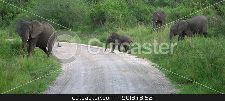 Elephant family in Africa stock photo, a elephant family in Uganda (Africa) while crossing a jungle road by prill