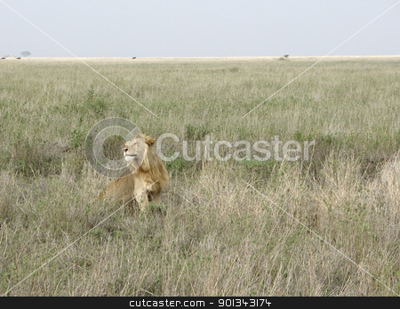 male Lion in the african savannah stock photo, male Lion sitting in high grass in Tanzania by prill