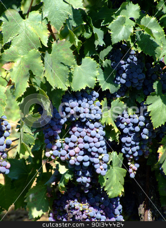 Vineyard 2 stock photo, Black grapes in an italian vineyard by Massimiliano Pieraccini