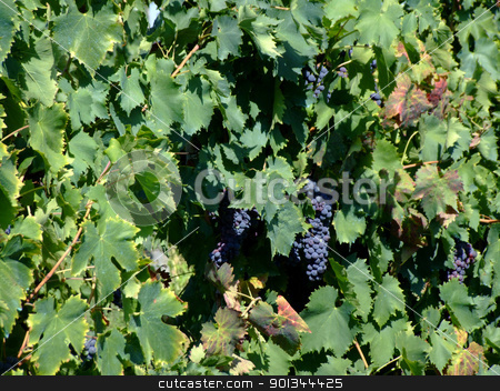 Vineyard 2 stock photo, Black grapes in an italian vineyard by Massimiliano Pieraccini