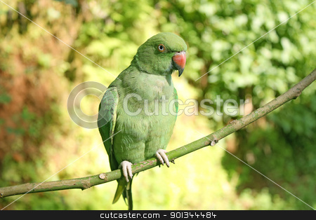 green parrot Rose-ringed indian Parakeet  stock photo, green parrot Rose-ringed indian Parakeet  by ajithclicks