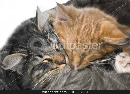 snuggling kittens stock photo, portrait of two red and grey  kittens snuggling together by prill