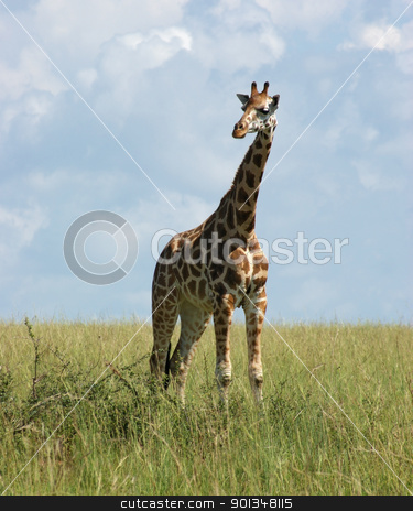 Giraffe in african savannah stock photo, a Rothschild Giraffe standing in grassland in Uganda (Africa) by prill