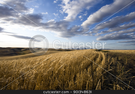 Farm life stock photo, Swaying corn under bright blue skys by Juliet N Newton