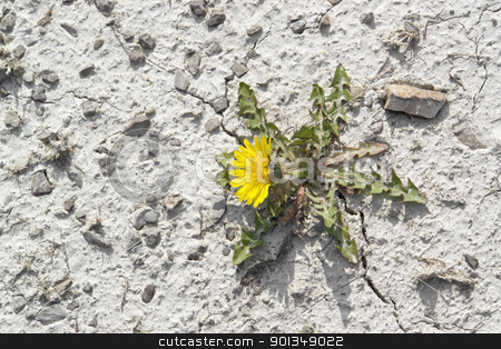 dandelion plant in arid ambiance stock photo, dandelion plant in dry stony ambiance, seen from above by prill