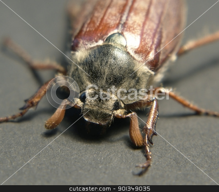 may beetle sitting on a twig stock photo, frontal shot of a may beetle  in grey back by prill