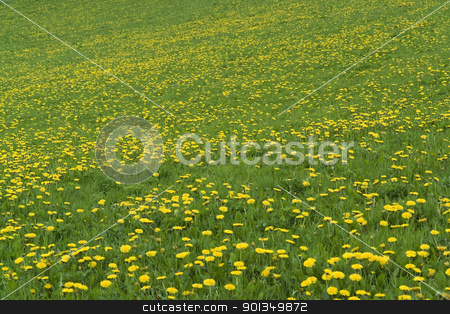 flowery grassland stock photo, natural background showing a sunny meadow with flowers at spring time by prill