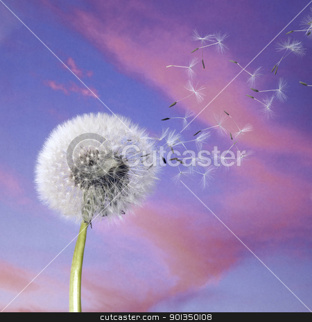 dandelion blowballin purple evening sky stock photo, blowball and flying seeds in colorful back by prill