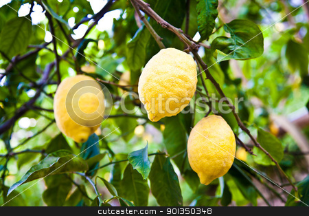 Lemon stock photo, Lemon on the tree in Costiera Amalfitana, tipical Italian location for this fruit by Perseomedusa