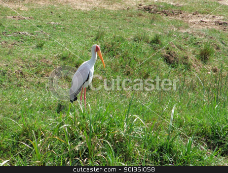 Yellow-billed Stork in grassy back stock photo, sunny scenery including a bird named Yellow-billed Stork in Uganda (Africa) by prill