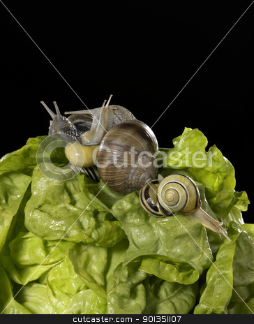 lettuce and snails closeup stock photo, studio photography of a head of lettuce and some snails in black back by prill