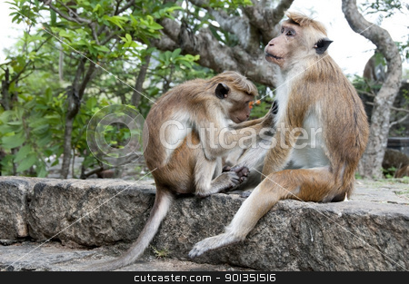 One Monkey Cleaning Another stock photo, Two wild Sri Lanka monkeys cleaning each other fur by Iryna Rasko
