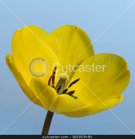 yellow tulip flower stock photo, closeup of a yellow tulip flower in blue back by prill