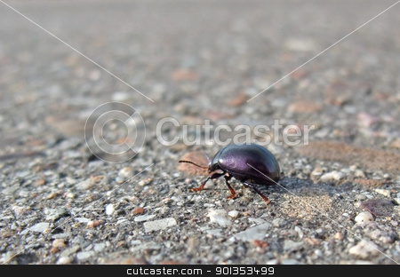 bug backside while walking on pavement stock photo, low angle closeup showing a bug named Cysolina sturmi walking on pavement by prill