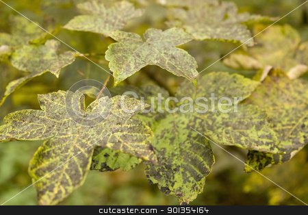 dappled autumn leaves stock photo, detail of colorful dappled autumn leaves by prill