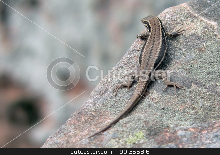 brown lizard resting on a stone stock photo, A brown lizard sitting on a stone in front of blurry back, seen from behind by prill
