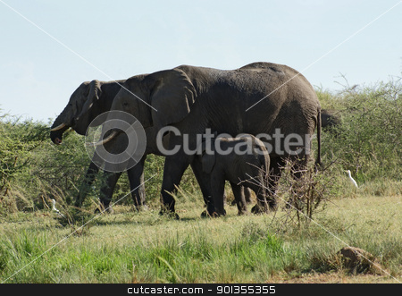 some Elephants in Uganda stock photo, sunny illuminated scenery including some Elephants in Uganda (Africa) by prill