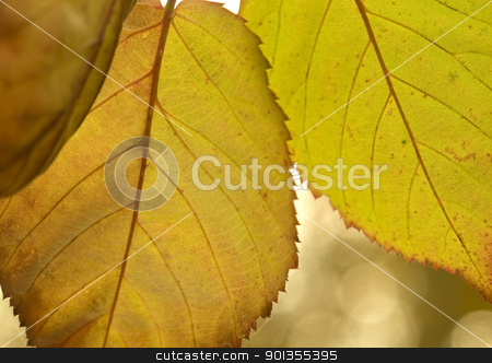 vibrant colored autumn leaves stock photo, detail of colorful translucent autumn leaves by prill