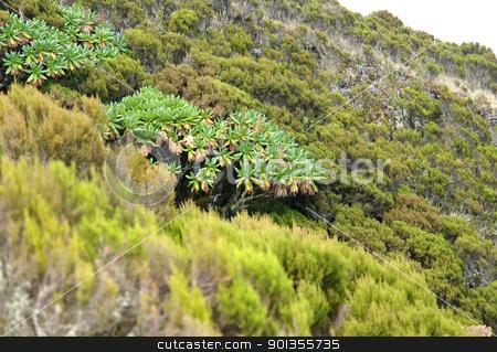 vegetation around Mount Muhabura stock photo, exotic and shrubby vegetation around Mount Muhabura in Uganda (Africa) by prill