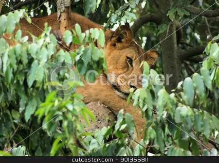 Lion in Africa stock photo, a Lion resting in a tree in Uganda (Africa) by prill