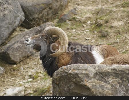 mouflon portrait in stony back stock photo, sideways portrait of a male mouflon in stony ambiance by prill