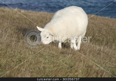 grazing sheep at the coast stock photo, white sheep at the coast in Scotland by prill