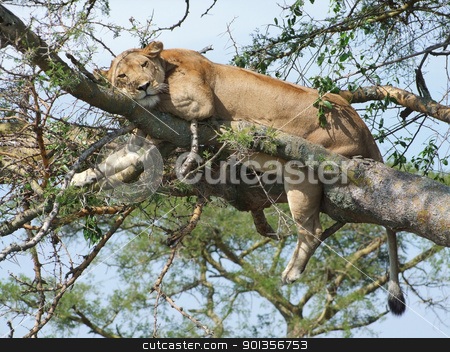 Lion resting on a tree stock photo, a Lion resting on a tree in Uganda (Africa) by prill