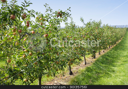 apple orchard in summer, covered with colorful apples stock photo, apple orchard in summer, covered with colorful apples by Chretien