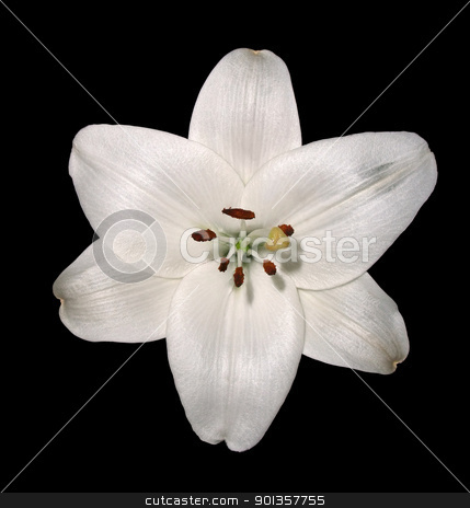 lily flower stock photo, white lily flowerhead in black back by prill