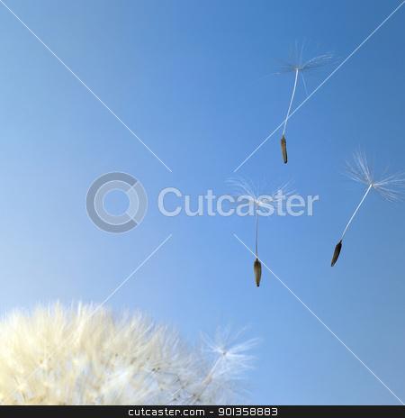 flying dandelion seeds in blue back stock photo, dandelion seeds closeup in blue back by prill