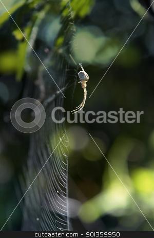 spider on spiderweb sideways stock photo, sideways shot of a spider on cobweb in blurry green back by prill