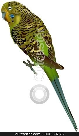 Budgerigar stock photo, Budgerigar (Melopsittacus undulatus) - Colored illustration by derocz