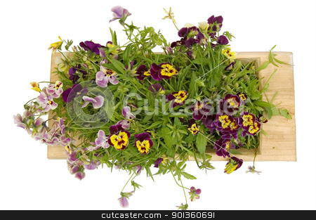 A wooden tray with pansies stock photo, A wooden trough with multicolored pansies isolated on a white background by rezkrr