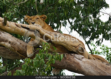 Lion resting in a tree stock photo, a Lion resting in a tree in Uganda (Africa) by prill