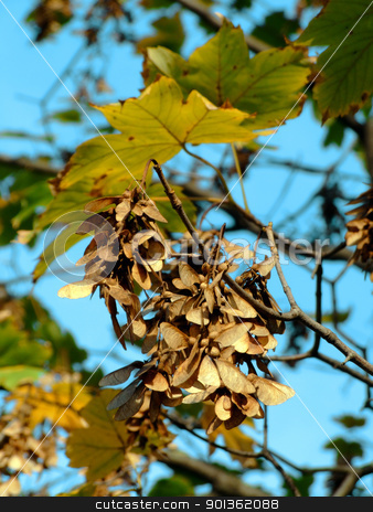 Maple tree stock photo, Detail of a maple tree branch and seeds by Massimiliano Pieraccini