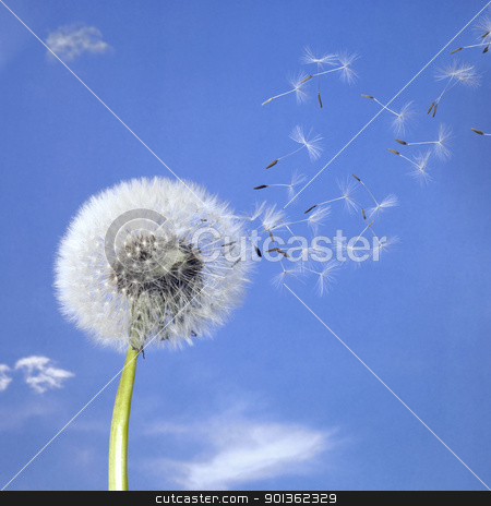 dandelion blowball and flying seeds stock photo, blowball and seeds in blue sky by prill
